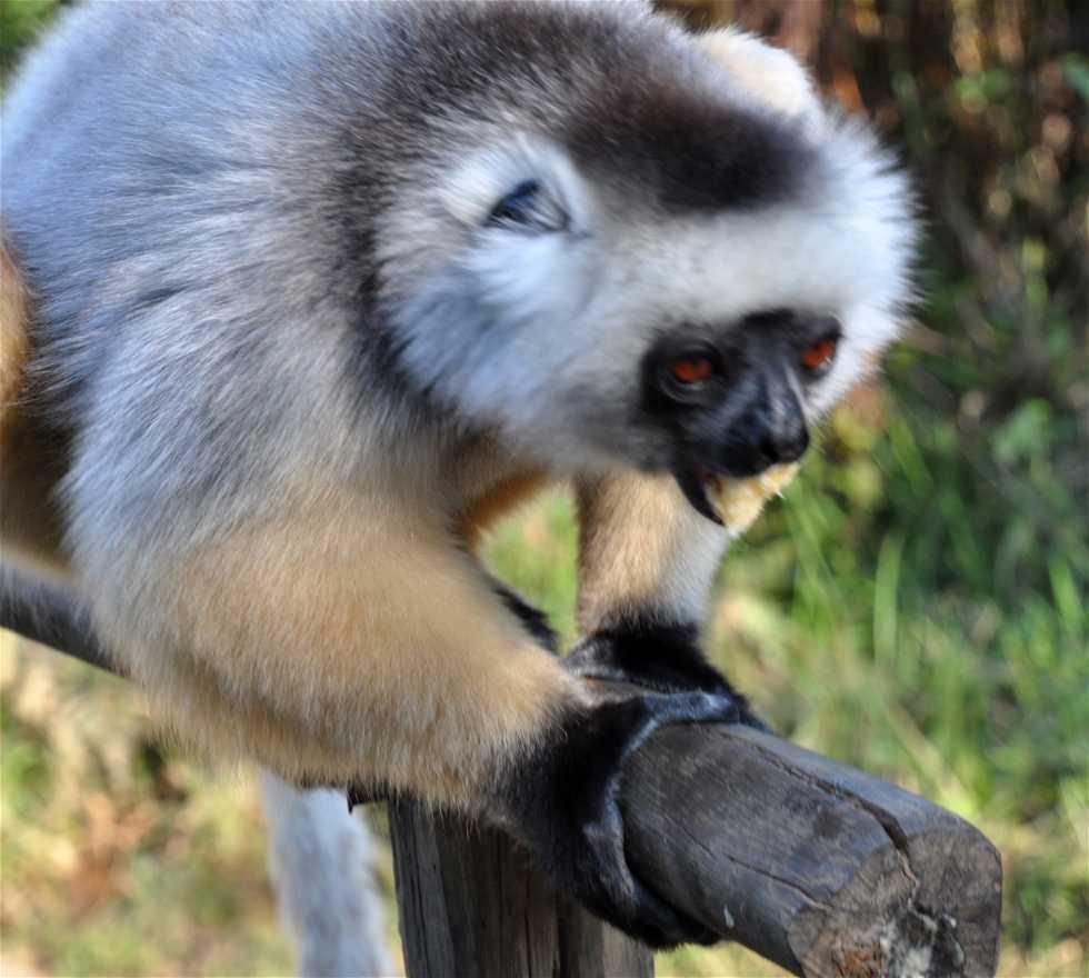Scimmia a I Lemuri del Madagascar