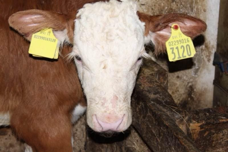 Dairy Cow in Brione Trentino