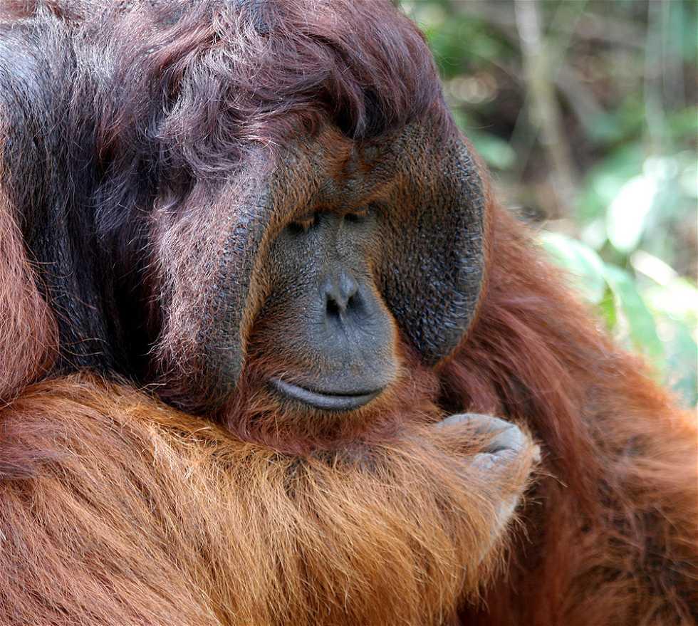 Mono en Kalimantan