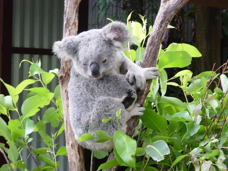 Koala en Zoo Featherdale Wildlife Park