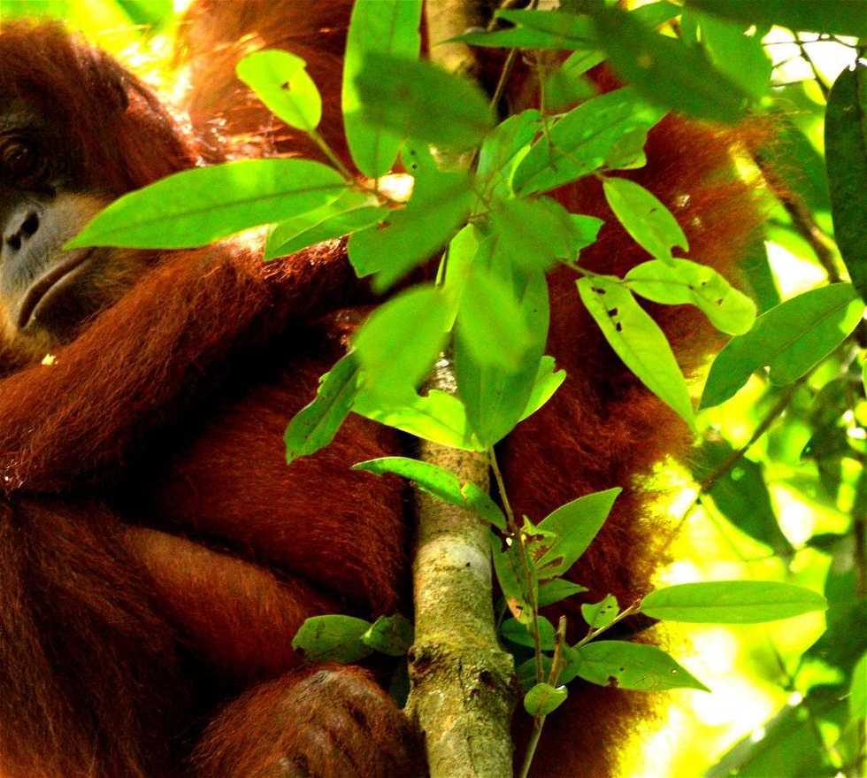 Orangután en Gunung Leuser Parque Nacional