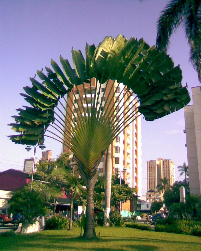 Tree in Bucaramanga