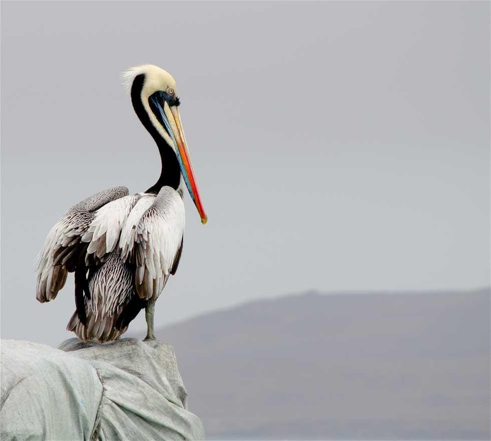 Oiseau à Paracas