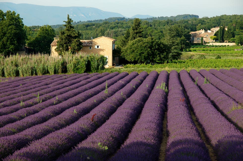 Flower in Fields of Lavender in the Luberon