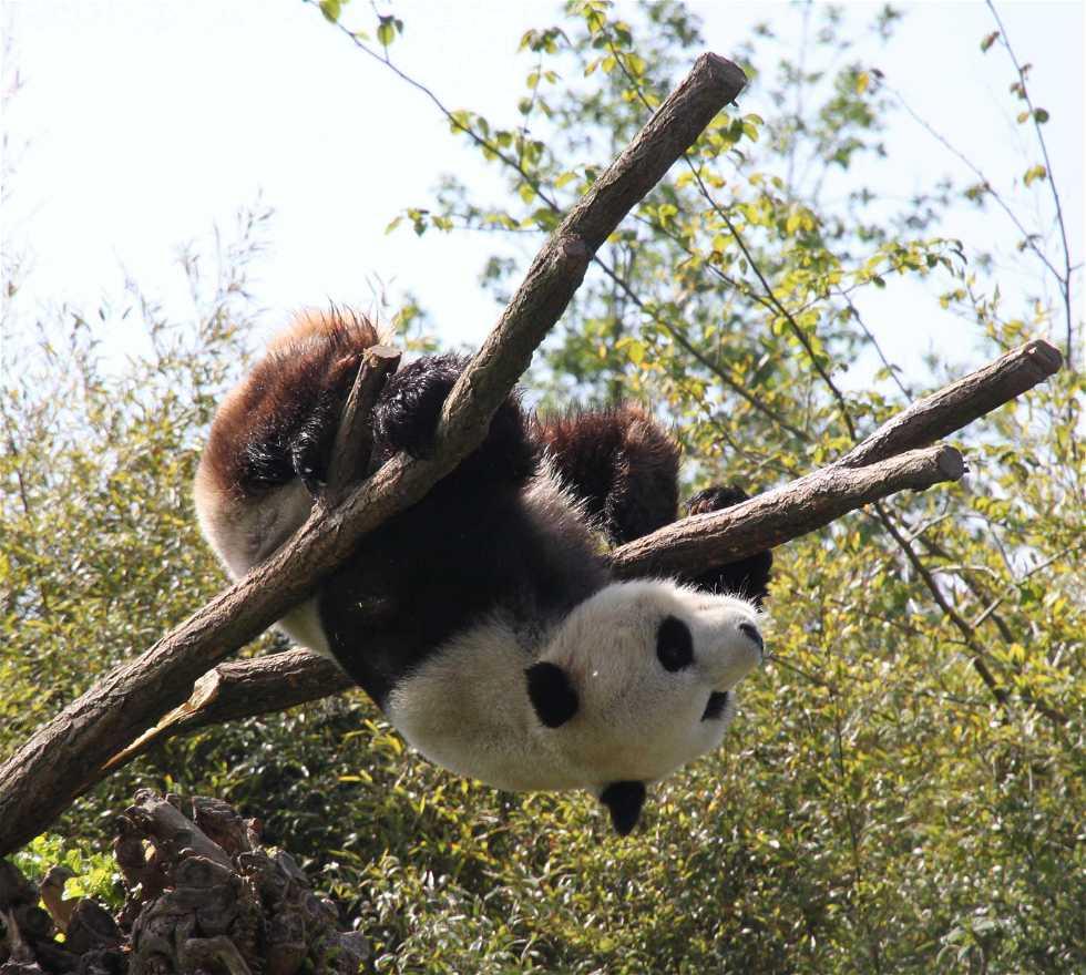 Panda en Brugelette