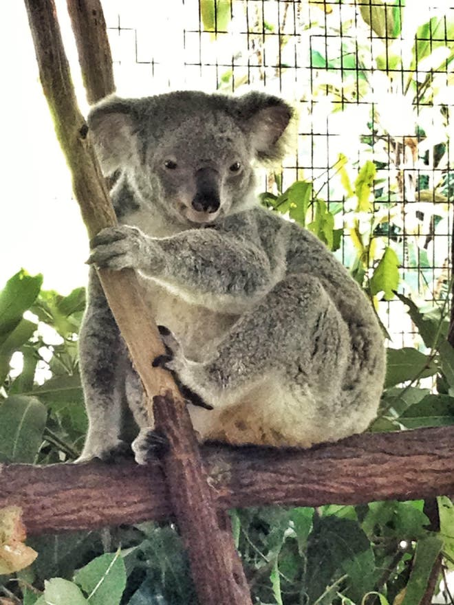 Marsupiale a Zoo tropicale di Cairns