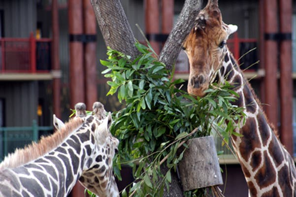 Zoo en Animal Kingdom Lodge