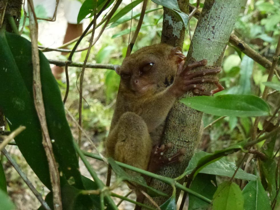 Koala en Philippine Tarsier and Wildlife Sanctuary