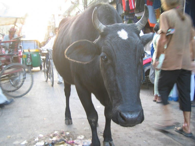 Animal en Paharganj