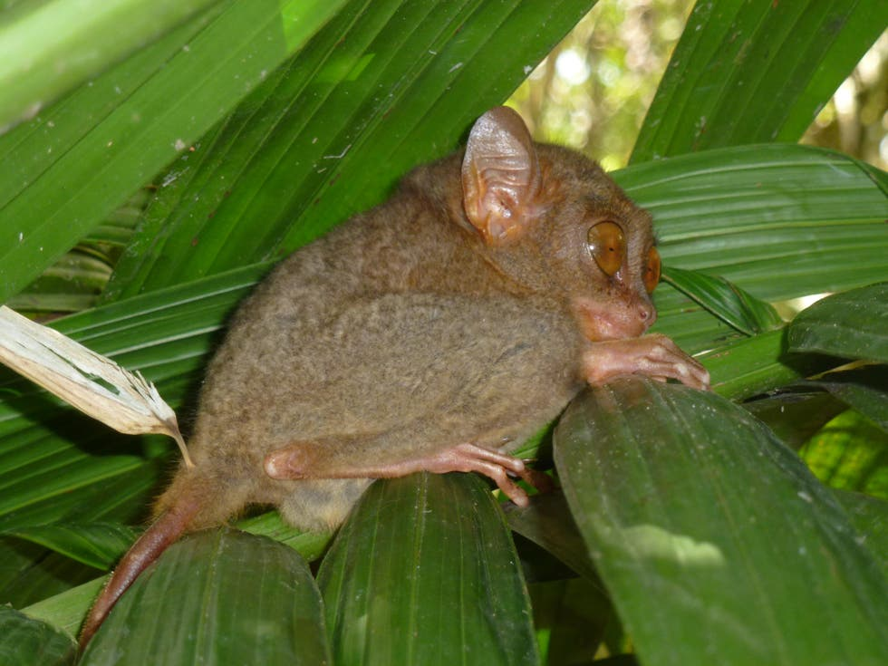 Fauna silvestre en Philippine Tarsier and Wildlife Sanctuary