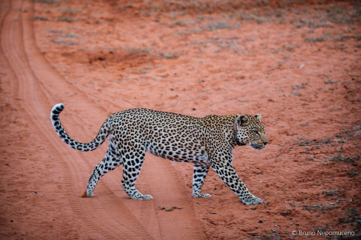 Cat in Tracking leopards