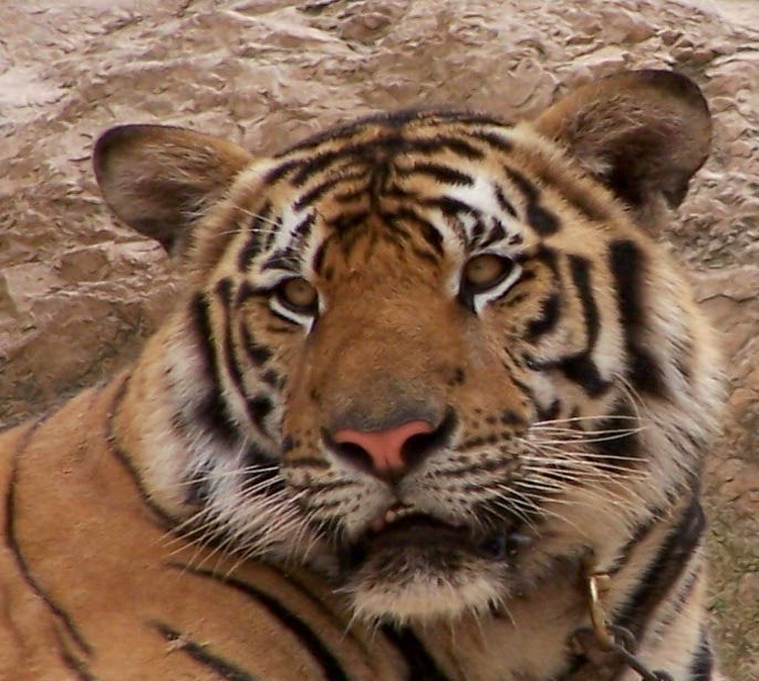 Tigre en Kanchanaburi