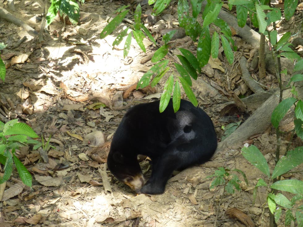 Animal en Bornean Sun Bear Conservation Centre