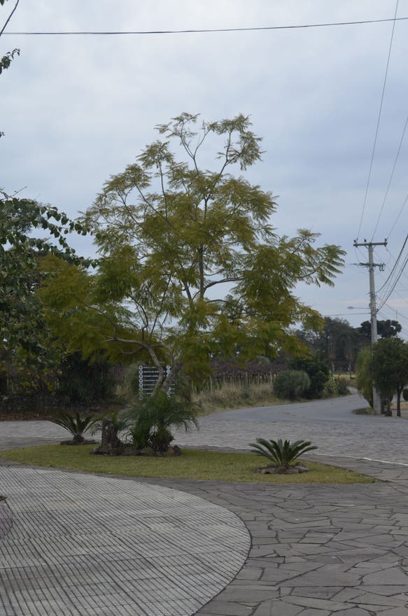 Árbol en Praça do Imigrante