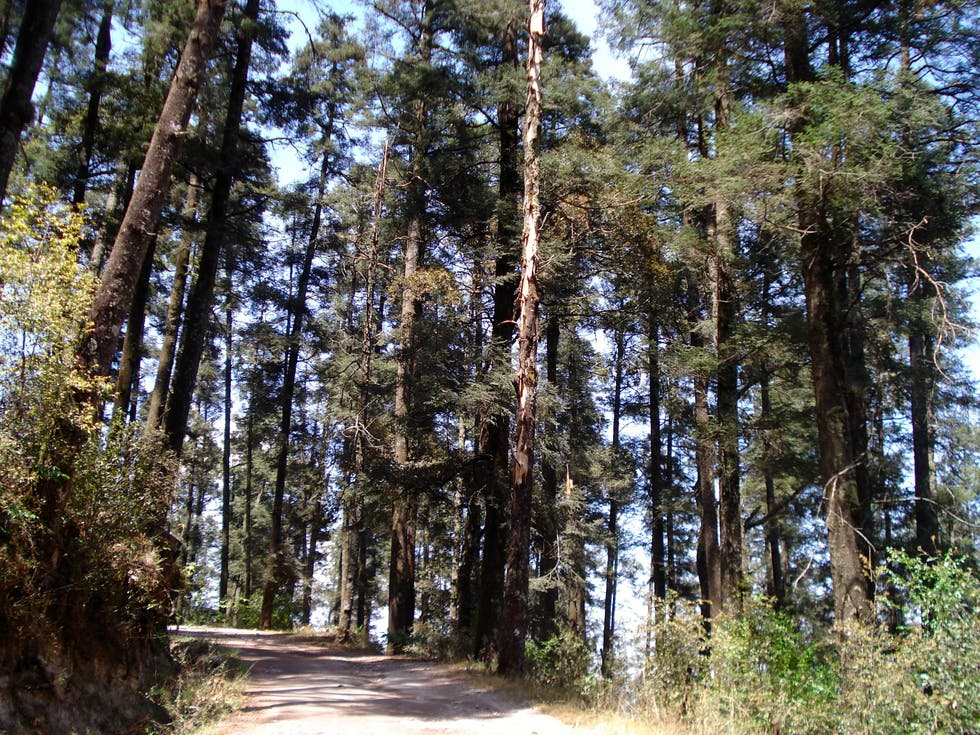 Spruce Fir Forest in Mineral del Chico