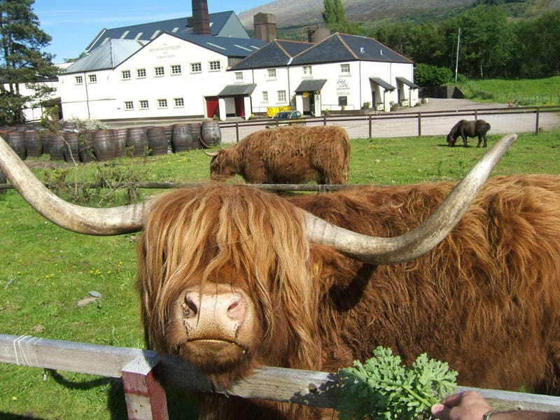 Cattle Like Mammal in Fort William