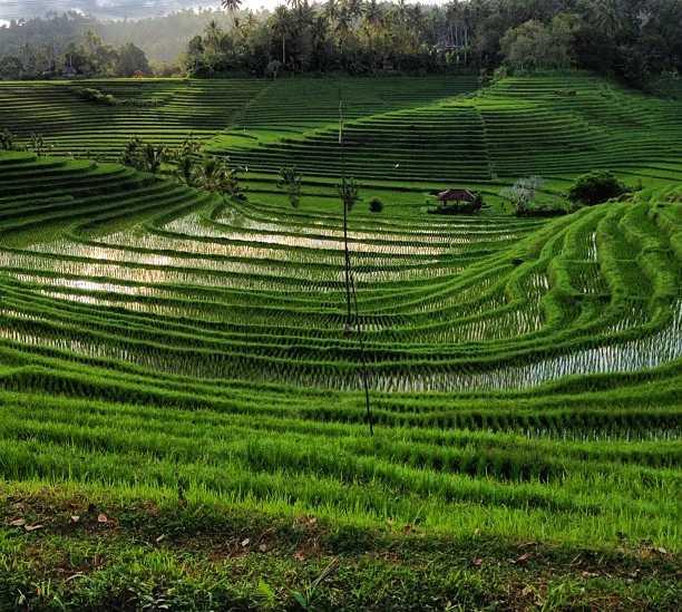 Field in Tabanan