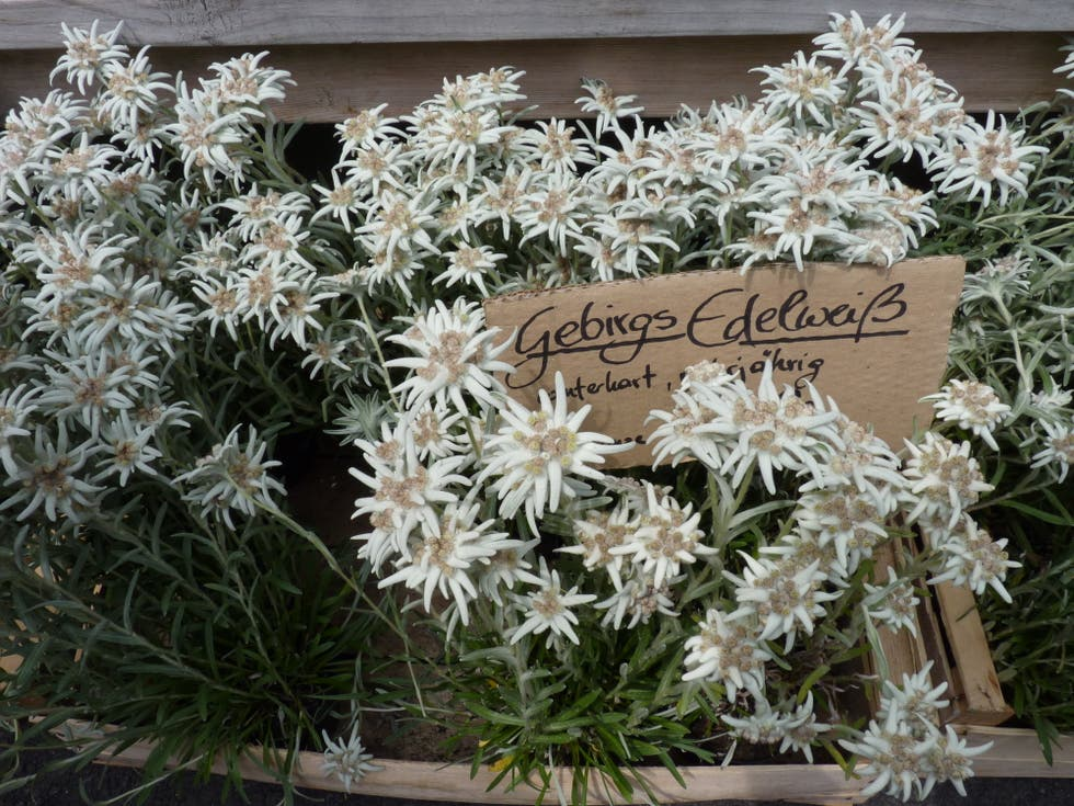 Flores naturales Edelweiss