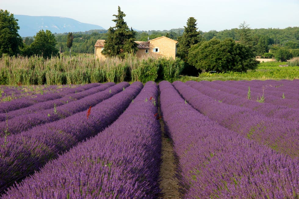 Lavender in Fields of Lavender in the Luberon