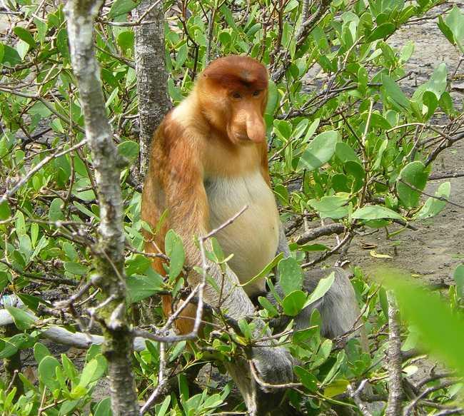 Mono en Parque nacional de Bako