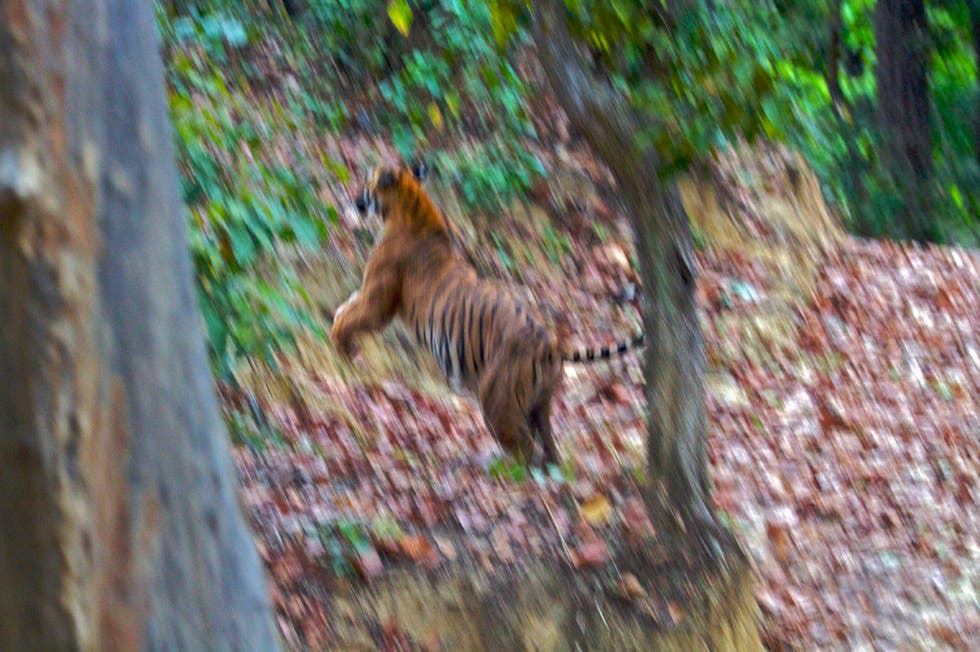 Wild Cat in Ramnagar