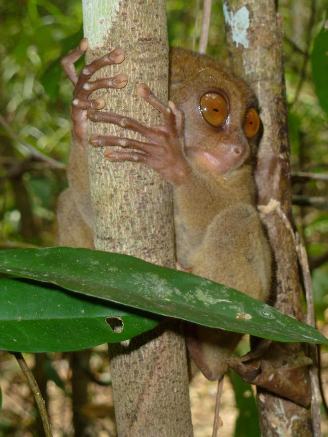 Árbol en Philippine Tarsier and Wildlife Sanctuary