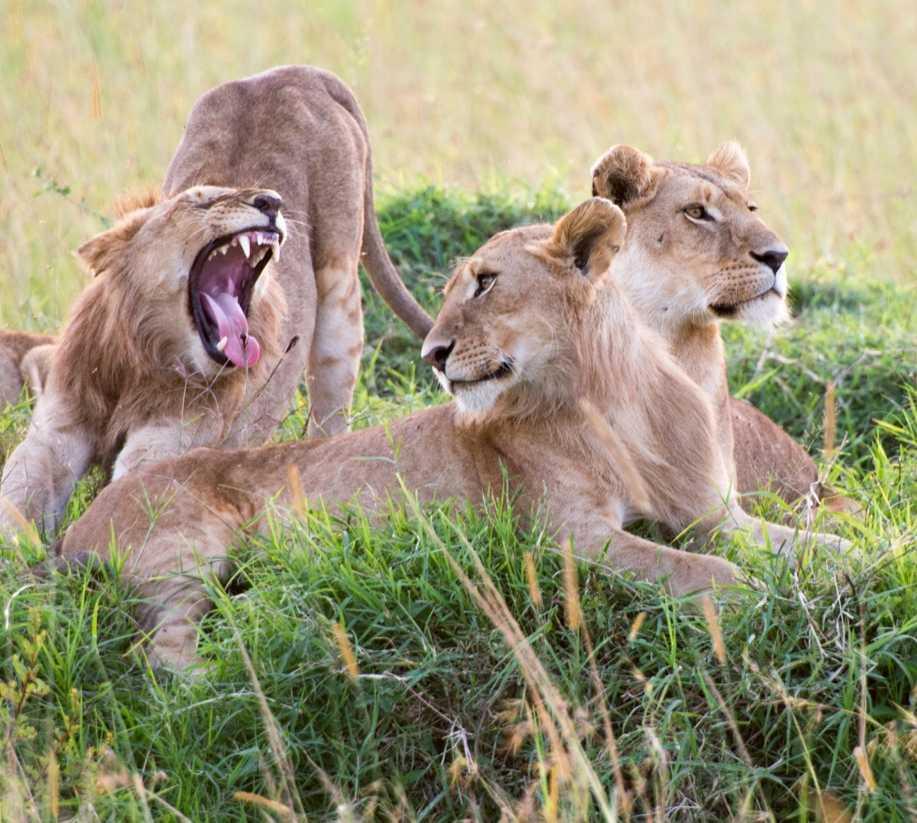 León en Parque Nacional Masai Mara