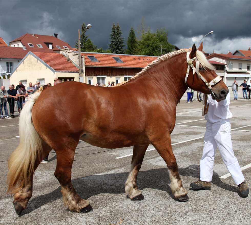 Yegua en Concours du cheval comtois de Morteau