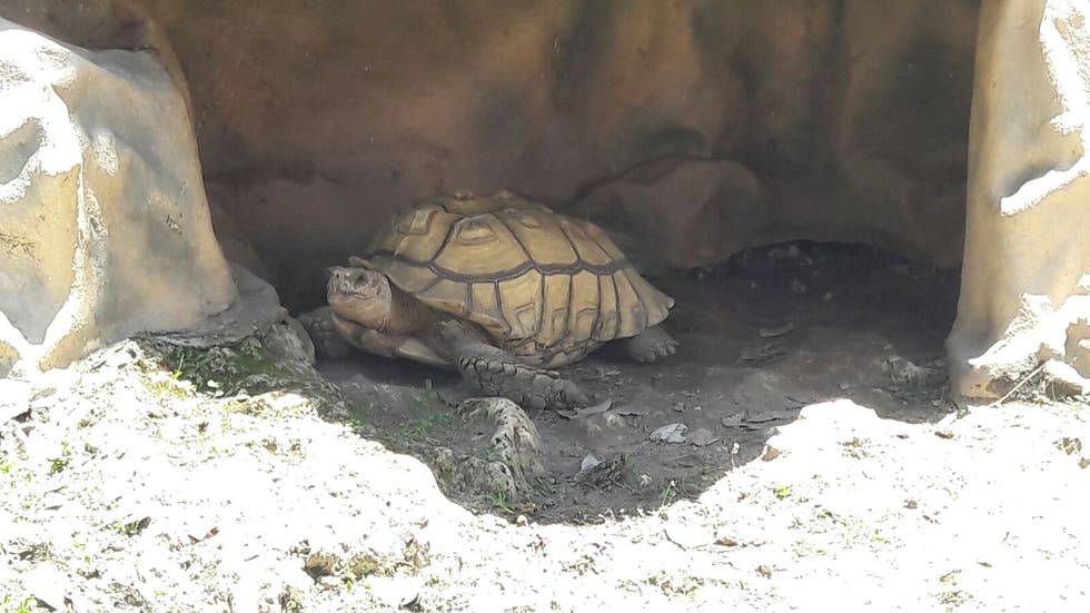 Tortuga en Lighthouse Bay