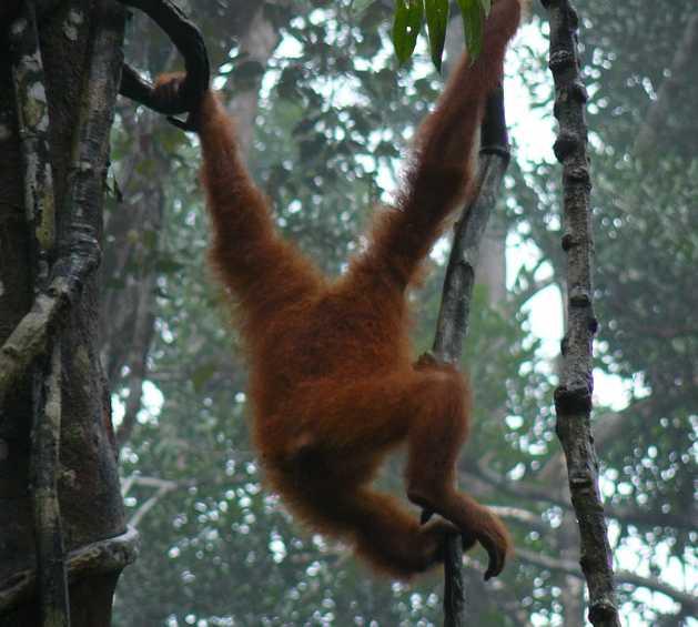 Mono en Reserva de Semenggoh