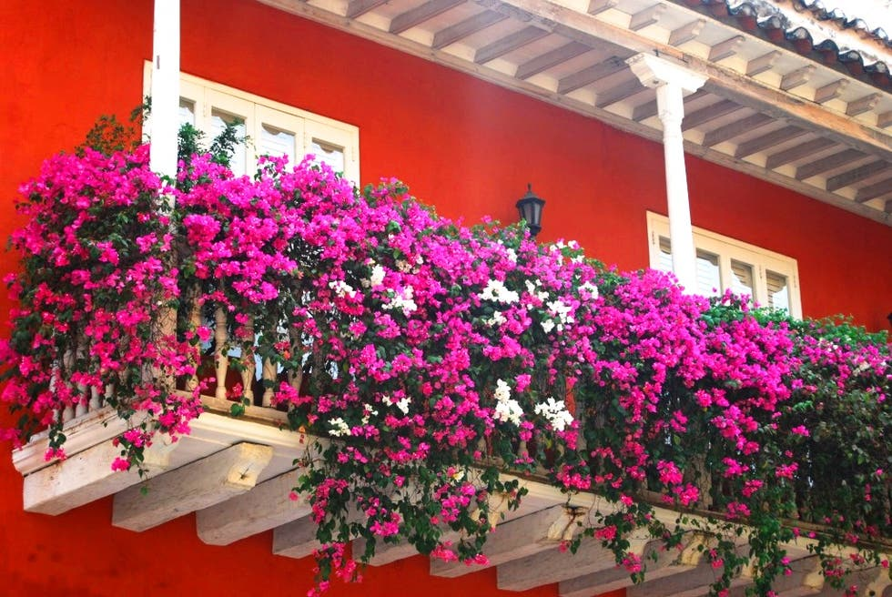 Flower in Cartagena