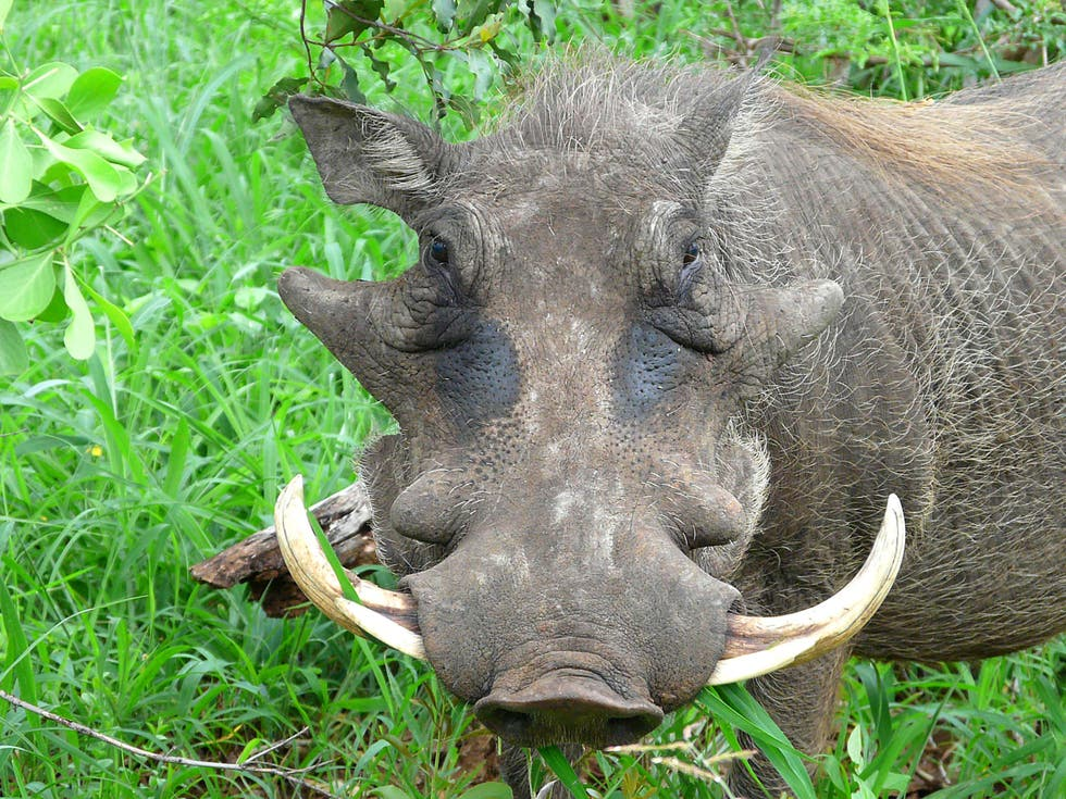 Pig in Swaziland