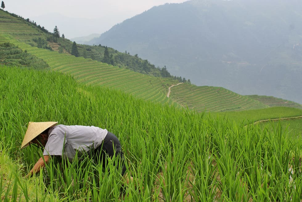 Campo de arroz en Guilin