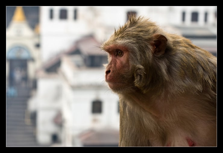 Animale a Pashupatinath