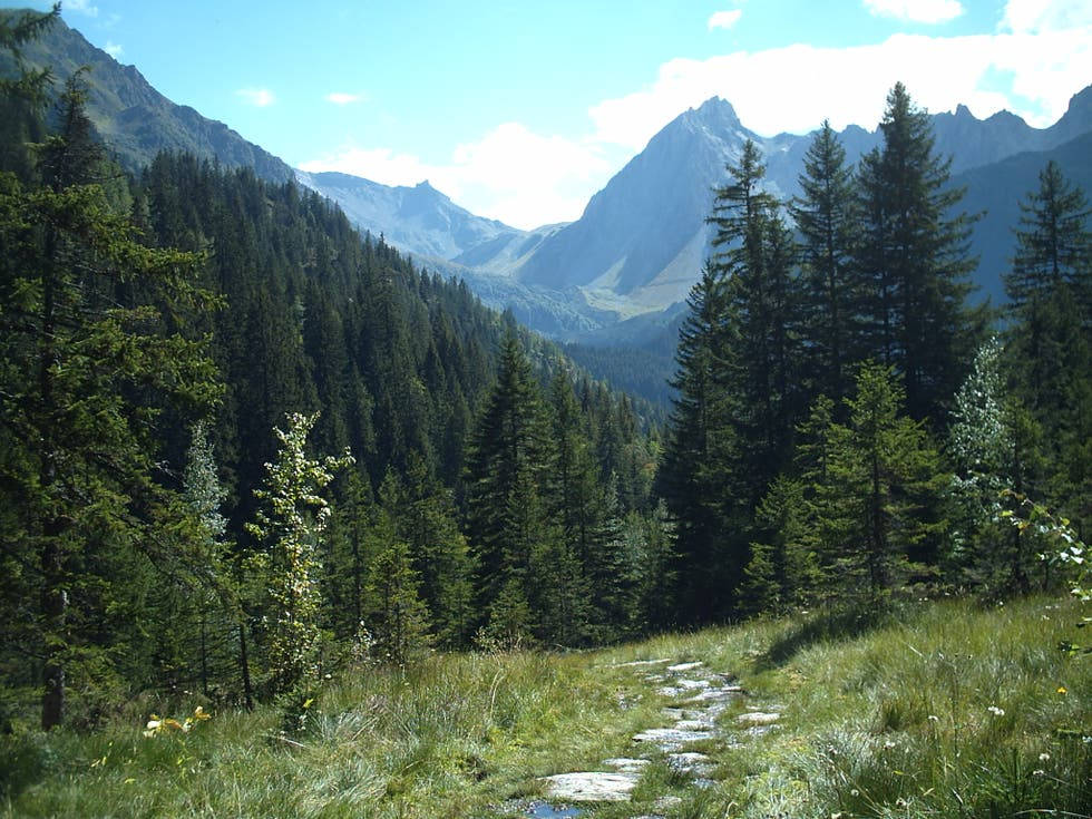 Spruce Fir Forest in Les Contamines Montjoie
