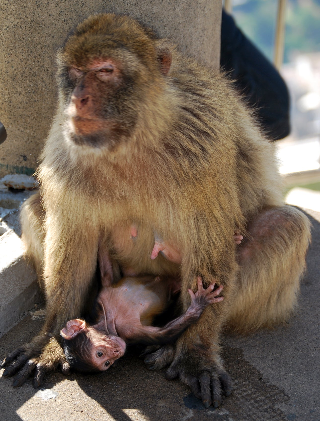 Japanese Macaque in Apes' Den