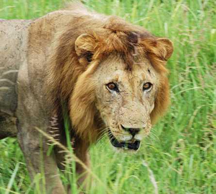 León en Morogoro