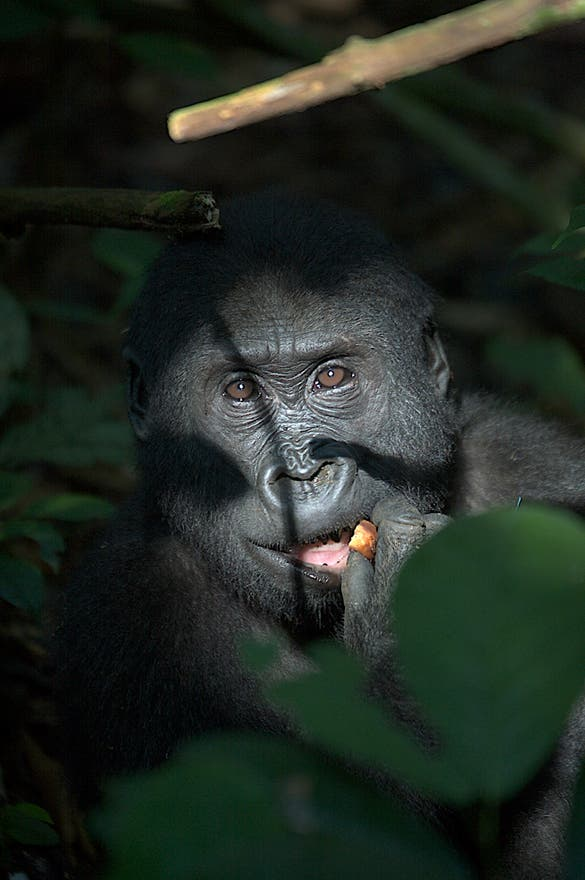 Great Ape in Central African Republic