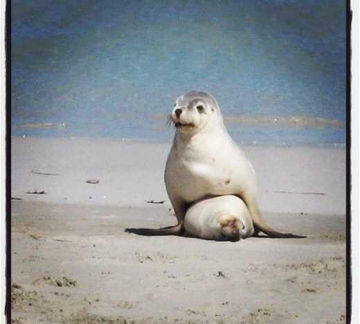 Oso polar en Seal Bay Conservation Park